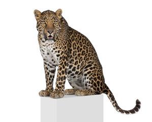 In de dag Luipaard Leopard on pedestal against white background, studio shot