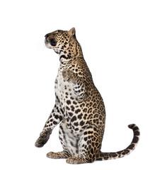 Canvas Prints Leopard Portrait of leopard sitting against white background