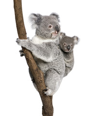 Fototapete - Koala bears climbing tree, in front of white background