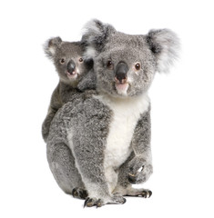 Portrait of Koala bears,  in front of white background