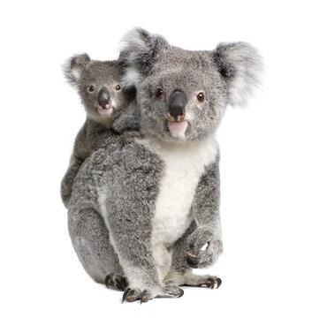 Portrait of Koala bears,  in front of white background