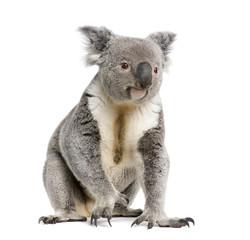 Fototapete - Portrait of male Koala bear, in front of white background