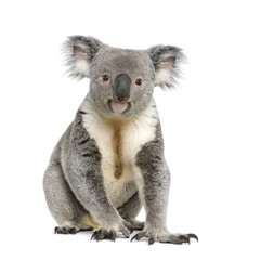 Photo sur Toile Koala Portrait of male Koala bear, in front of white background
