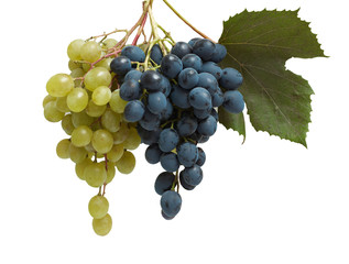 Two branches of white and blue grapes
