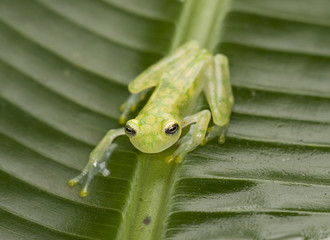 reticulated glass frog, costa rica 4