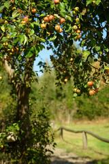 wilder Apfelbaum an einer Koppel