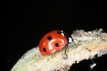 Ladybird feeding on aphids. Extreme close-up.