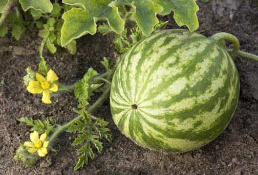 watermelon growing in the field.