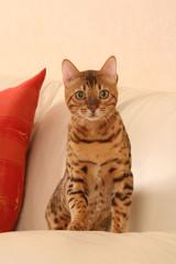 Bengal aux yeux verts assis de face sur le canapé blanc