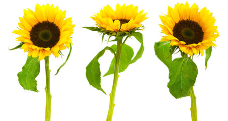 Image of a floral design - sunflowers isolated on white