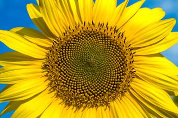 sunflower close-up central part
