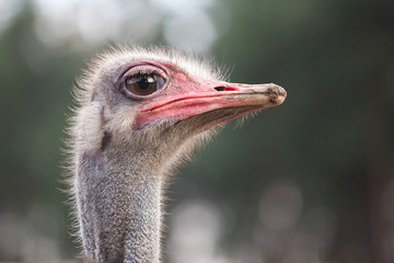 ostrich watching for something