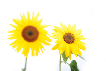 Beautiful yellow flower, colorful sunflower isolated