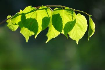 Translucent leaves backlit