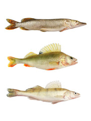 Pike, perch and pikeperch isolated on white