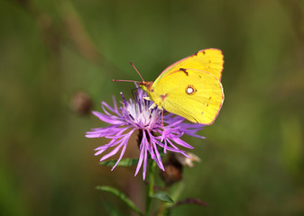 Colias hyale - Pale Clouded Yellow (1)
