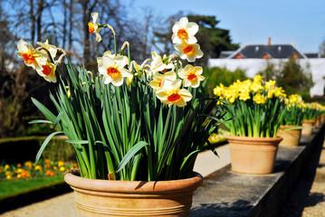 Papiers peints Narcisse Narcisses dans un pot de terre