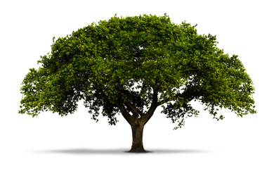 un arbre avec feuilles vertes - isolé sur blanc avec ombre