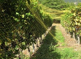 La vigne protégée par les filets.