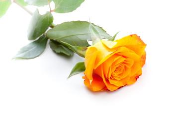 Orange Rose diagonal auf weißem Hintergrund