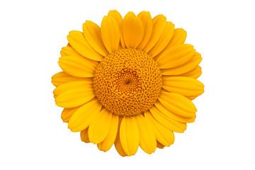Yellow daisy blossom
