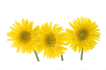 Three bright sunflower