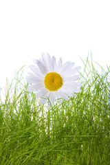 camomile and grass isolated on white