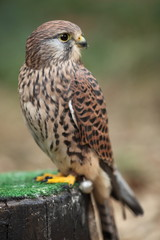 Common Kestrel - close-up view of this beautiful bird