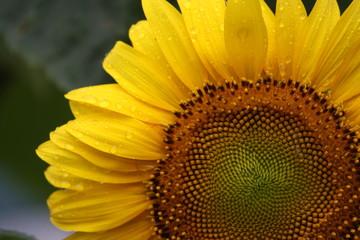 Wassertropfen auf Sonnenblume
