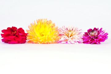 Herbst Blumen Dahlien