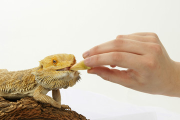 Feeding bearded dragon