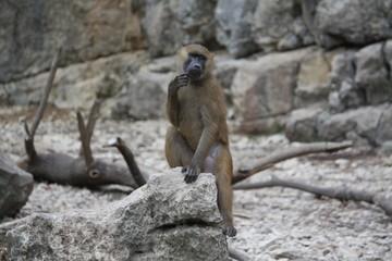 grand singe se grattant le menton