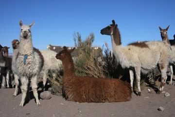 Trouepau de lamas
