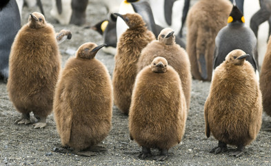 King Penguin Chicks - St. Andrews Bay, South Georgia