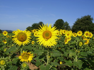 sunflowers 36