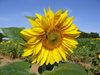 sunflower 14