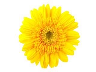 Yellow gerbera against white