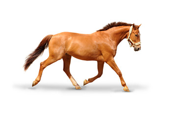 Photo sur Plexiglas Chevaux Pferd 52