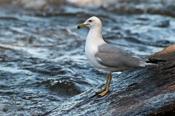 Ring-billed Gull on boulders alongside river