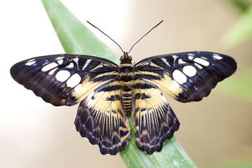 Butterfly (Parthenos Sylvia) (South Asia)