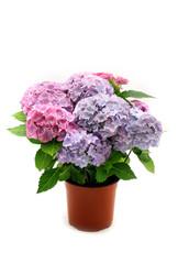 Photo sur Plexiglas Hortensia Hortensia bush in the pot