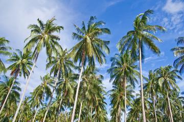 Coconut tree garden, south of Thailand