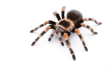 red knee tarantula