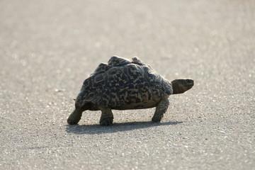 Tortoise cross