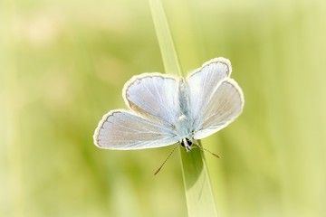 Blue butterfly rests on the blade of grass in the early morning