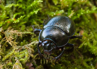 Dor Beetle close-up