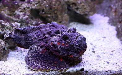 poisson pierre violet
