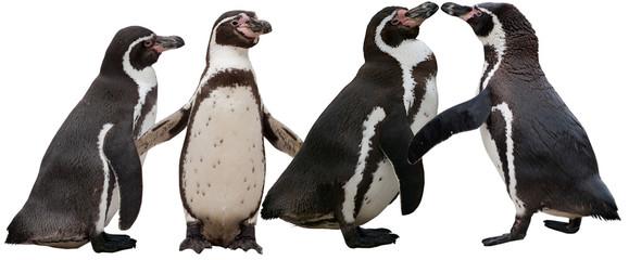 Pinguine (Humboldtpinguine)