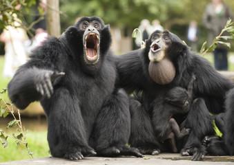 Obraz Siamang Gibbon monkey - fototapety do salonu