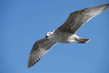 Spannweite einer Seemöwe - Wing span of a seagull
